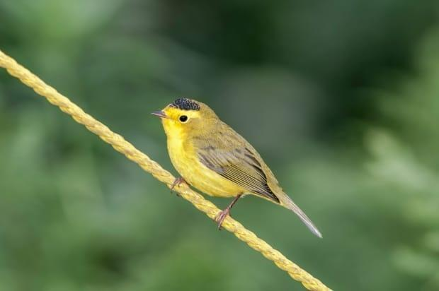 Keep an eye out for Wilson's warblers, which should arrive in B.C. in the coming weeks, according to birder Adam Dhalla.