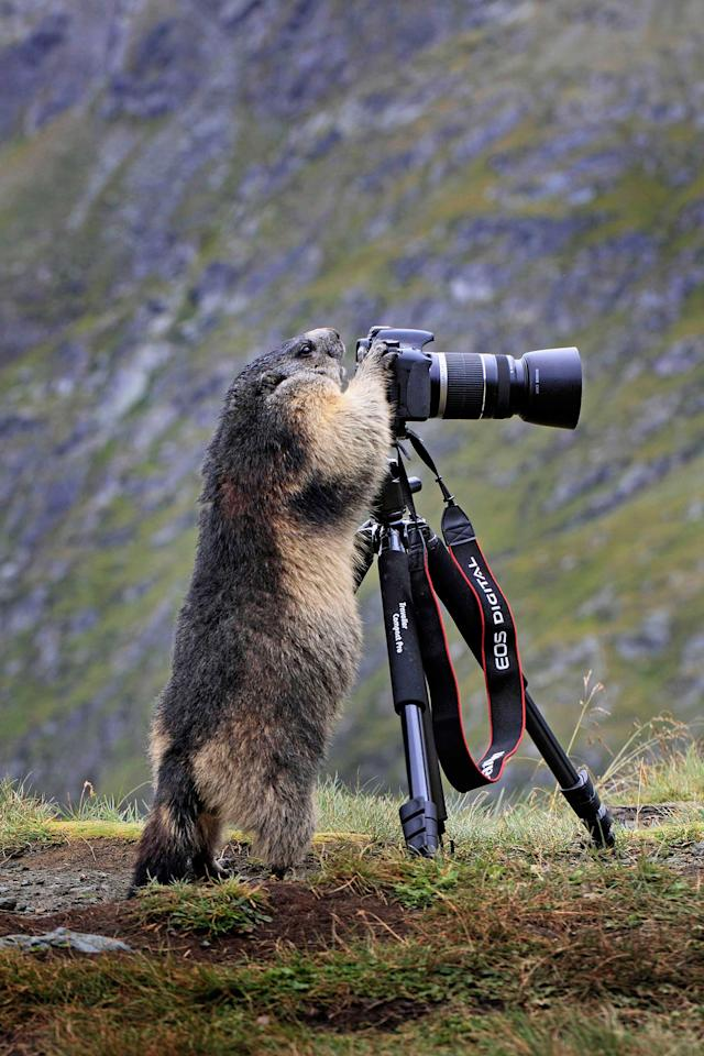 This is the hilarious moment a mischievous marmot had a taste of life on the other side of the lens. Tired of being photographed, the cute creature - popular with tourists - took the opportunity to take some pictures itself after spotting an unattended camera. Snapper, Stefan Meyers, was taking photographs of the alpine marmots in Grossglockner Austrias highest mountain - when the bizarre scene unfolded. The 67-year-old from Germany watched on helplessly as the notoriously shy creature approached his camera, stood on its hind legs and looked carefully through the lens. Stefan quickly grabbed his friend's equipment to capture the moment and was shocked further still as other marmots later joined in the fun (Caters)