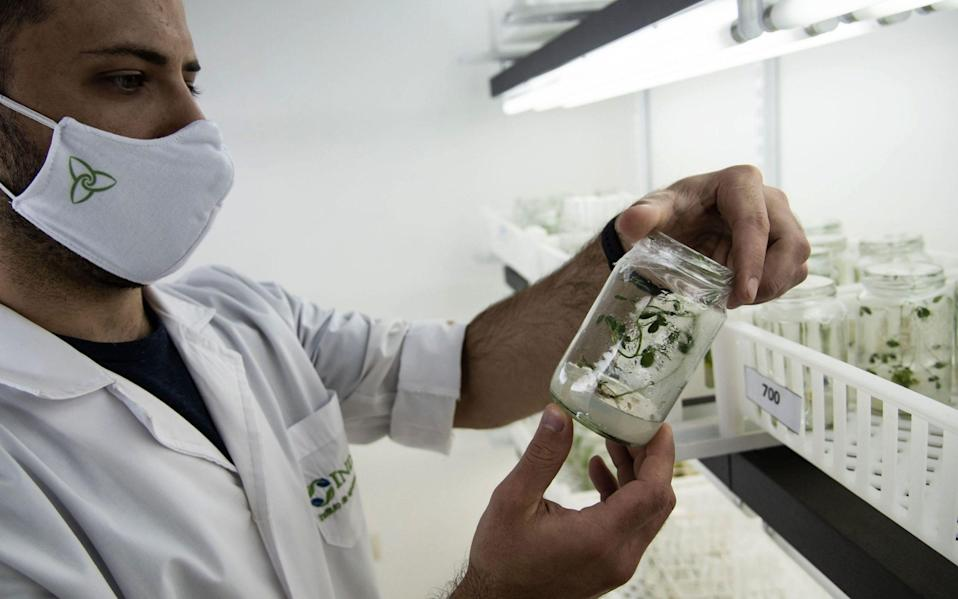 A scientist studies genetically modified plants in the growth room of a lab at the Bioceres agricultural biotechnology company in Rosario, Santa Fe Province, Argentina - MARCELO MANERA / AFP