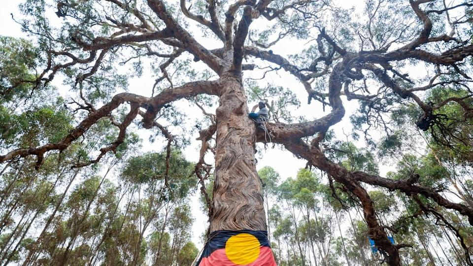 The directions tree before it was cut down, with an Aboriginal flag on it