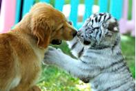"""<p>A puppy plays with a white tiger cub at the Beijing Wildlife Park where a Golden Retriever milked eight abandoned cubs. Those cubs included hyenas, Siberian tigers, a white tiger, and an African lion. </p><p><strong>RELATED:</strong> <a href=""""https://www.goodhousekeeping.com/life/pets/g5053/unique-dog-names/"""" rel=""""nofollow noopener"""" target=""""_blank"""" data-ylk=""""slk:100+ Unique Dog Names for Every Kind of Pup"""" class=""""link rapid-noclick-resp"""">100+ Unique Dog Names for Every Kind of Pup</a></p>"""