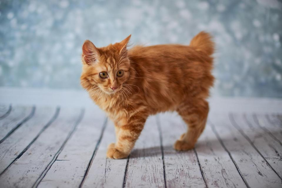 <p>If you're looking for a cat that likes to talk and can be trained to walk on a leash, look no further than the American Bobtail. This breed is also very good with children.</p>