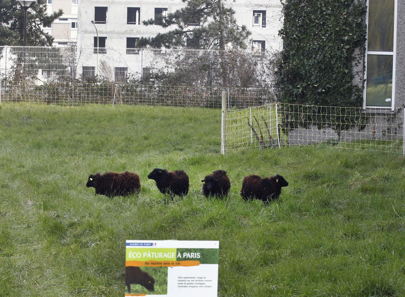 In this photo dated Thursday, April 4, 2013, four sheep graze in a small meadow in a northern district of Paris as part of an eco-experiment to use ecological means to maintain Paris green spaces. Paris is enlisting the help of a small flock of sheep to keep the city's grass trim to replace gas-guzzling lawnmowers. (AP Photo/Remy de la Mauviniere)