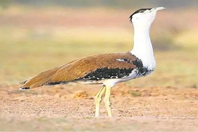 conservation of animals in India, great indian bustard conservation efforts, asian elephant conservation efforts, bengal florican conservation efforts, endangered species in india, protection of endangered species, environment conservation, how to help great indian bustard, how to save great indian bustard, great indian bustard news, where is great indian bustard found, great indian bustard found in which national park, asian elephant habitat, asian elephant facts, where do asian elephants live, asian elephant articles, importance of wildlife conservation in india, achievements of wildlife conservation in india, wildlife conservation in india, analysis of wildlife conservation in india