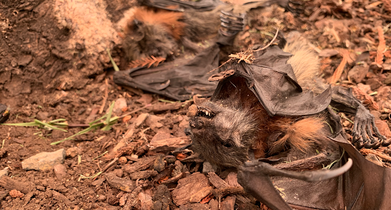 Two dead baby flying foxes lie on the ground