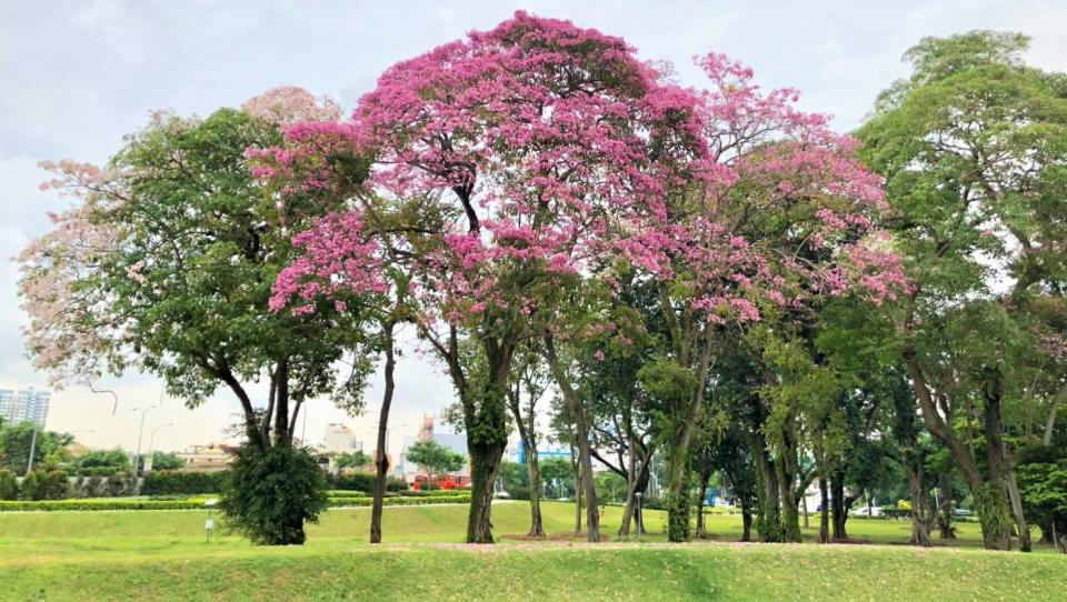 Trumpet trees flowering along Nicoll Highway. (PHOTO: National Parks Board)