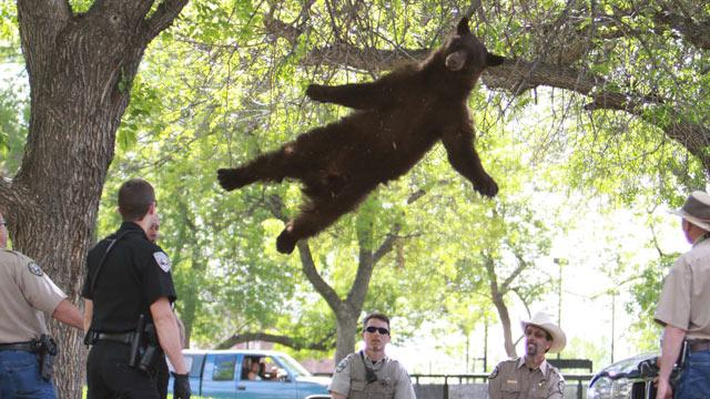 Summer of the Bear: From a Graduation Ceremony to a Backyard Pool