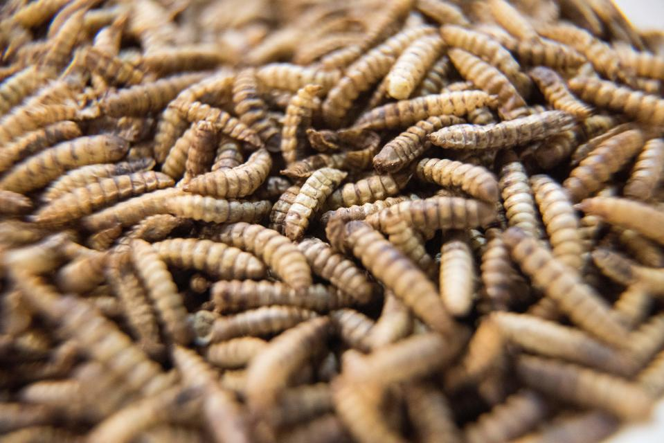 A picture taken on July 17, 2019 shows a dish of Black Soldier Fly larvae which is an ingredient at Gourmet Grubb, a food stand run by chef Mario Barnard (not visible) specializing in using insects in cuisine, in Cape Town. - Mopane worms are a traditional snack in South Africa, but a Cape Town restaurant is set to crawl into the history books as the first to serve a full menu of bug-infused delicacies. Barnard uses mostly dried, ground up worms or pupae, which he sources from people producing them to feed exotic pets. These dried insects are high in protiens, fats, and a variety of minerals, making them very healthy to eat. (Photo by RODGER BOSCH / AFP)        (Photo credit should read RODGER BOSCH/AFP via Getty Images)
