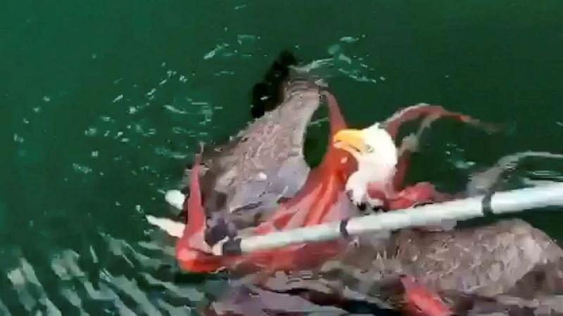 Fishermen save bald eagle from clutches of octopus