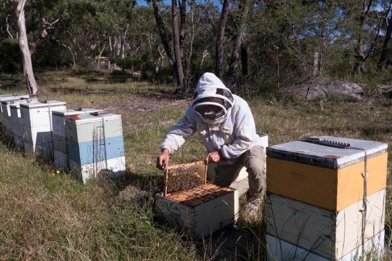 Australian production of manuka honey could soon be dealt a heavy blow, with a group of New Zealand producers launching proceedings in multiple countries to register the term and claim its exclusive use