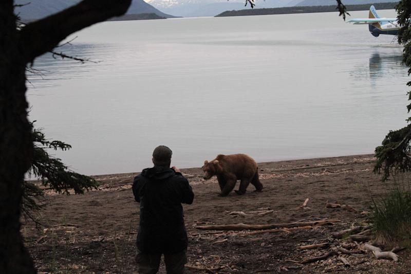 A tourist takes a photo of a brown bear as it walks on the beach at Katmai National Park and Preserve, Alaska on July 4, 2013. At the height of the salmon season, near the end of July, there will be up to 70 brown bears plus cubs with a one-square mile area of Brooks Camp, along with humans. (AP Photo/Mark Thiessen)