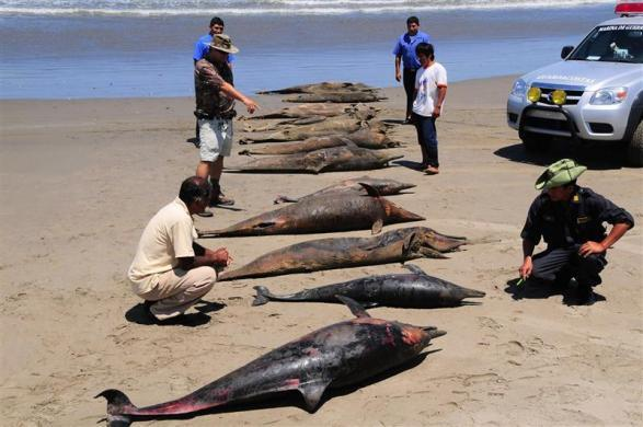 Dolphin carcasses are displayed by conservationists and environmental police officers at San Jose beach, north of Chiclayo, April 6, 2012.
