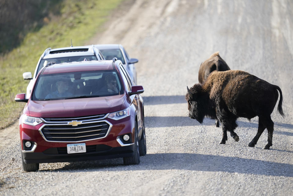 CORRECTS TO BISON INSTEAD OF BUFFALO A bison crosses a road between cars at the The Neal Smith National Wildlife Refuge, Thursday, Nov. 19, 2020, near Prairie City, Iowa. (AP Photo/Charlie Neibergall)