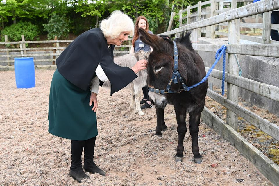COMBER, NORTHERN IRELAND - MAY 19: Camilla, Duchess of Cornwall strokes a donkey as she visits Horses for People on May 19, 2021 in Comber, Northern Ireland. (Photo by Tim Rooke - Pool/Getty Images)
