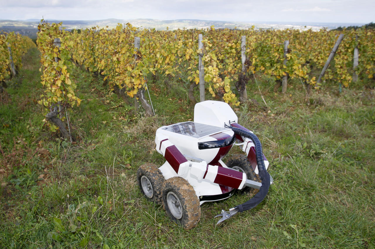 The Wall-Ye prototype, a robot designed to prune vines, is seen  in the Pouilly Fuisse vineyard during a press presentation near Macon October 12, 2012. The 50 by 60 centimetre robot, with four wheels and two metal arms, has six web cameras and a GPS and can roll between grapevines, test the soil and check the grapes. With a little more training, Wall-Ye will be able to prune up to 600 vines per day, says his inventor, French engineer Christophe Millot, who has been working on the project for the past three years. Picture taken October 12, 2012. REUTERS/Robert Pratta (FRANCE - Tags: SCIENCE TECHNOLOGY)