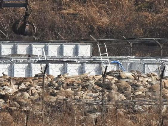 The Yeoncheon Imjin River Civic Network NGO said its pictures showed dead pigs piled up in a car park in Yeoncheon county (AFP via Getty Images)