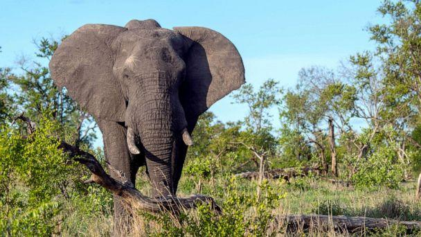 PHOTO: An African elephant in the Manyeleti Reserve in the Kruger Private Reserves area in the Northeast of South Africa. (Wolfgang Kaehler/LightRocket via Getty Images, FILE)