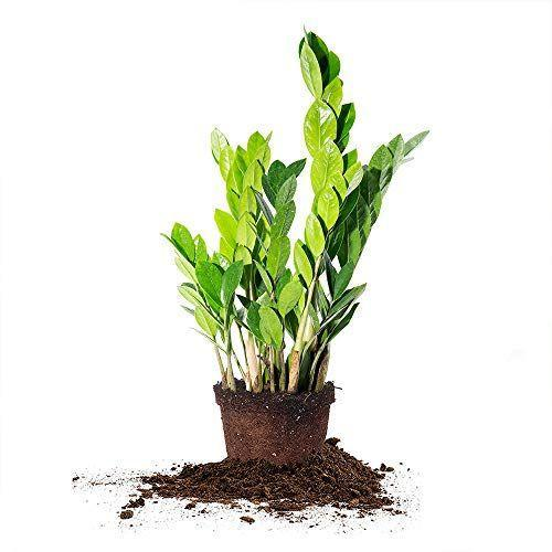 """<p><strong>PERFECT PLANTS</strong></p><p>amazon.com</p><p><strong>$23.65</strong></p><p><a href=""""https://www.amazon.com/dp/B088JGJ8L1?tag=syn-yahoo-20&ascsubtag=%5Bartid%7C10050.g.36318192%5Bsrc%7Cyahoo-us"""" rel=""""nofollow noopener"""" target=""""_blank"""" data-ylk=""""slk:Shop Now"""" class=""""link rapid-noclick-resp"""">Shop Now</a></p><p>If she's a plant mom too, she'll love adding an easy-care ZZ plant to her flock. Pair it with a colorful pot for an extra-special present.</p>"""