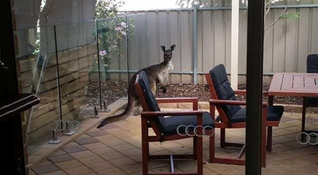 The kangaroo hung around the the Hughes' backyard for a few hours after its early morning swim. Photo: Dan Hughes.
