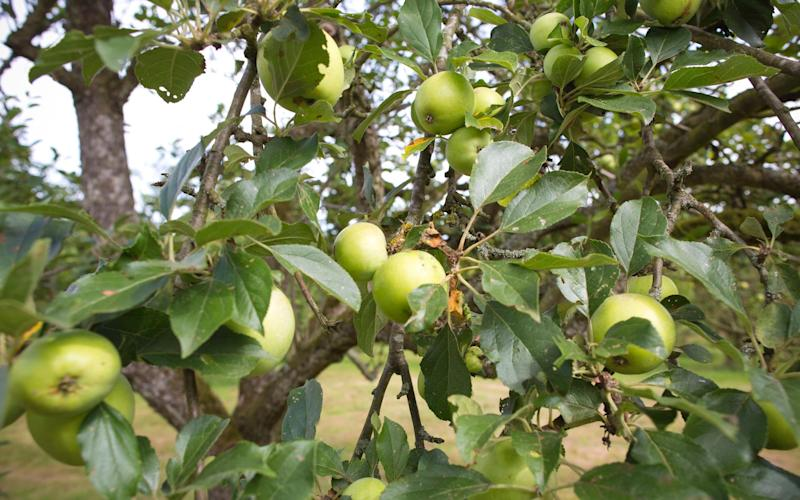 Apples will be ripe and delicious, so take the kids on a foraging hunt to make homemade apple crumble - Jeff Gilbert