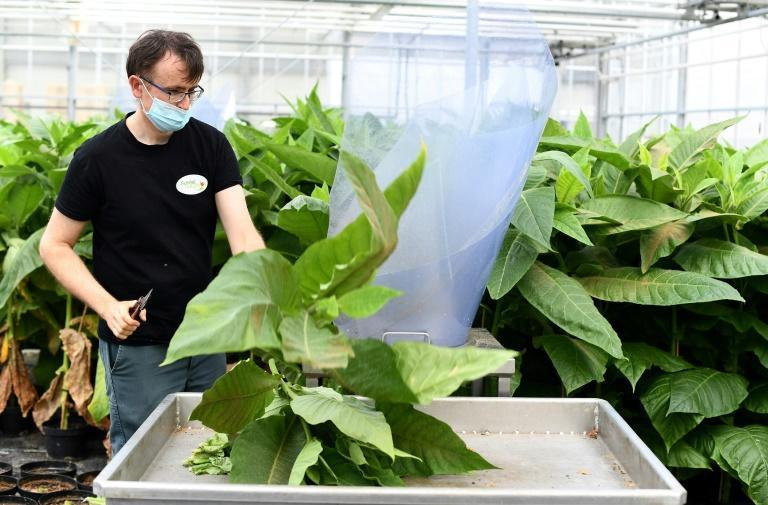 Every week, a fresh crop of aphid-killers are shaken from the tobacco leaves where they were nurtured and shipped to growers