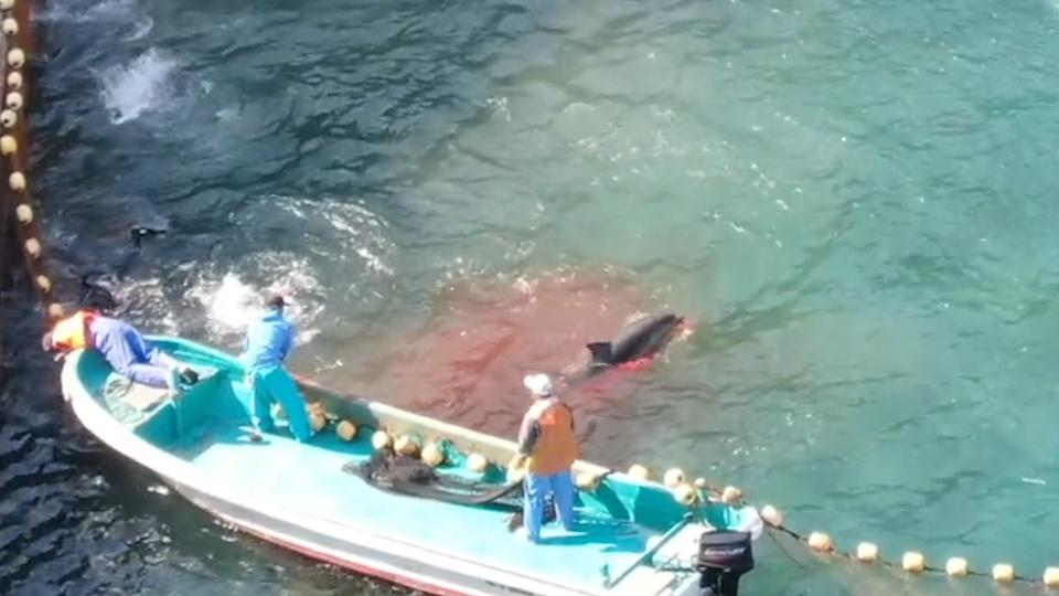 A dolphin swims away from a skiff. The water around it is red from blood.
