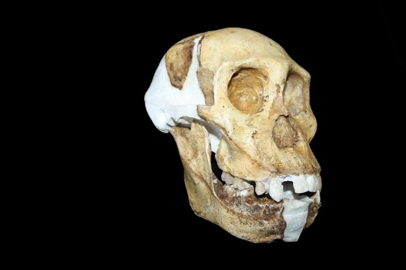 This undated image provided by Lee R. Berger and the University of the Witwatersrand shows a reconstructed skull and jaw of Australopithecus sediba. The newly-studied species lived some 2 million years ago, and it both climbed in trees and walked upright. Scientists are getting a more comprehensive look at the extinct South African creature with an intriguing mix of human-like and primitive traits, but scientists say they still haven't pinned down where it fits on our evolutionary family tree. Results were published in the journal Science on Thursday, April 11, 2013. (AP Photo/University of the Witwatersrand, Lee R. Berger)