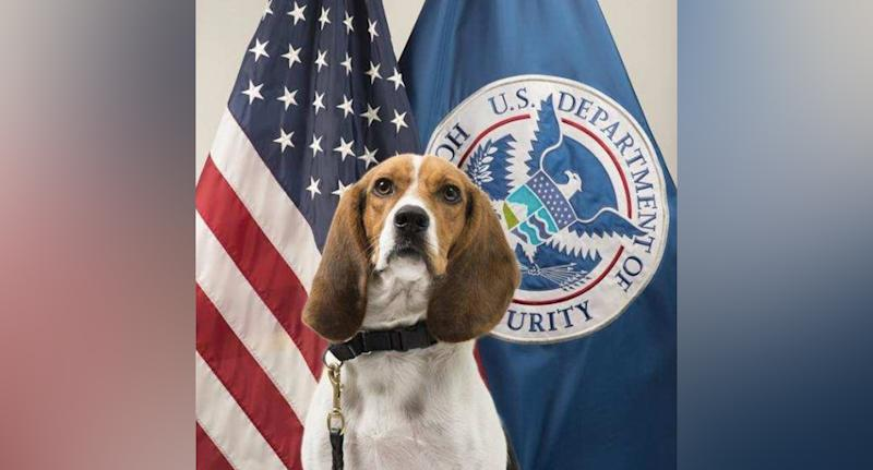 Hardy (pictured) is part of the US Customs and Border Protection 'Beagle Brigade'