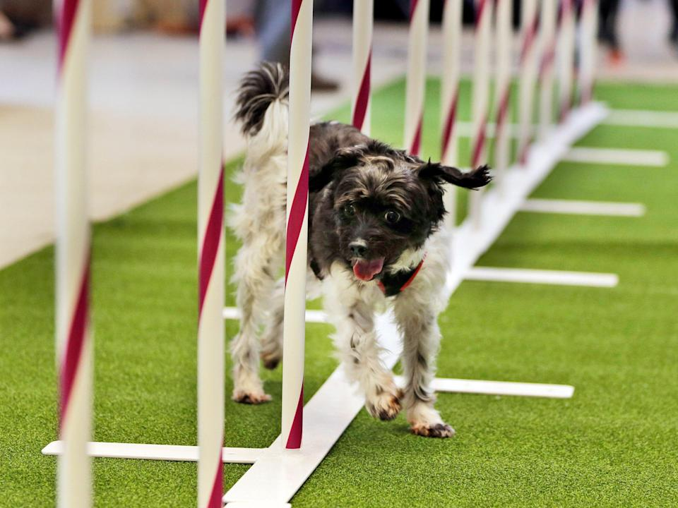 Alfie, a poodle mix, demonstrates his agility skills.