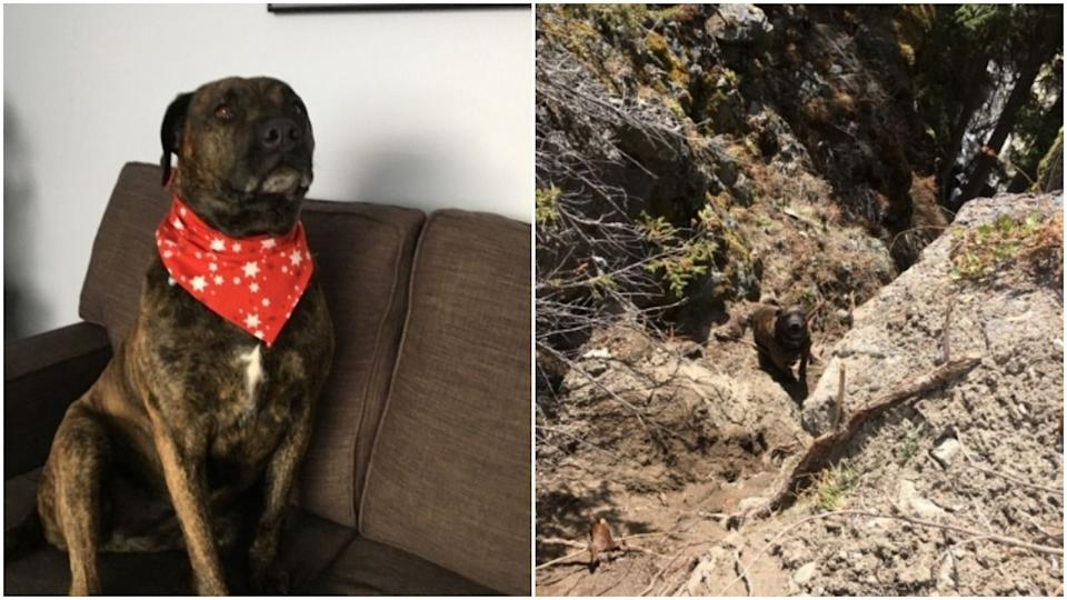 Chevy the dog sporting a fashion-forward scarf (left) and when she was stuck on a ledge above the cliff (right). (Photo: Margot Wikjord via RCMP)