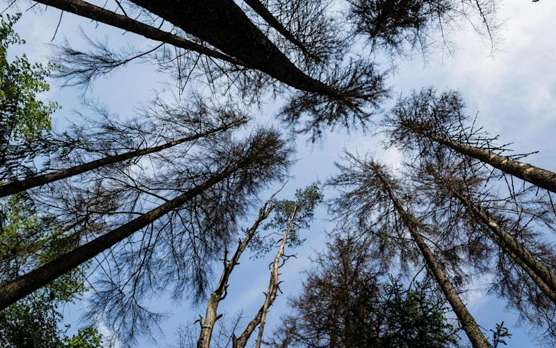 Dried out spruce trees in primaval parts of Bialowieza Forest - AFP