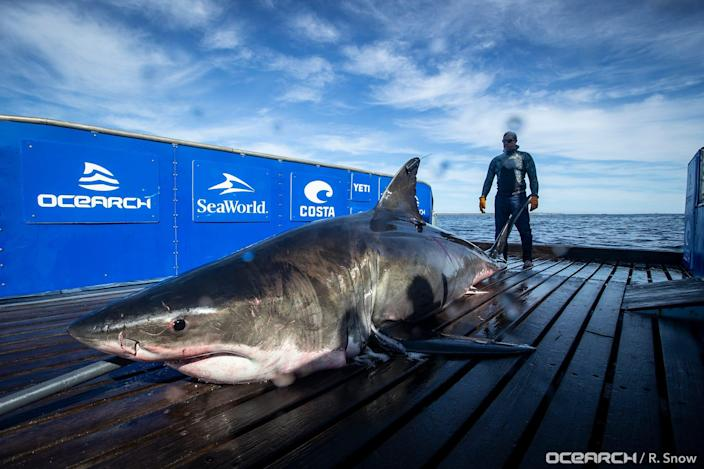 Unama'ki has traveled over 2,000 miles since being tagged and researchers hope to gain insight on the breeding habits of great white sharks. Her latest ping was on Feb. 1.