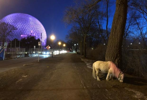 Pink-maned pony on Montreal's Île Sainte-Hélène was hoax staged by TV show