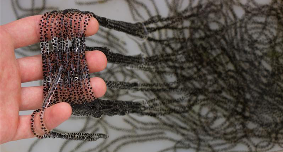 A hand full of cane toad eggs.