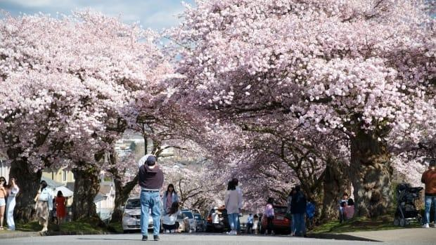 Crowds of people flock to a residential street in East Vancouver to enjoy the large cover of cherry blossom trees over the Easter long weekend. (Gian Paolo Mendoza/CBC - image credit)