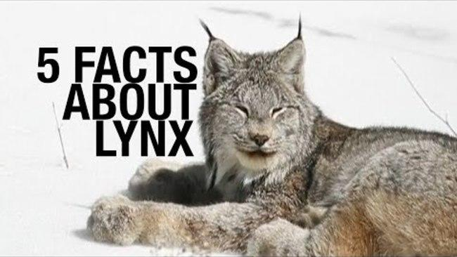 <p>Lynx are some of the most beautiful animals out there. Here's some things you probably didn't know about them. Credit: Various via Storyful</p>