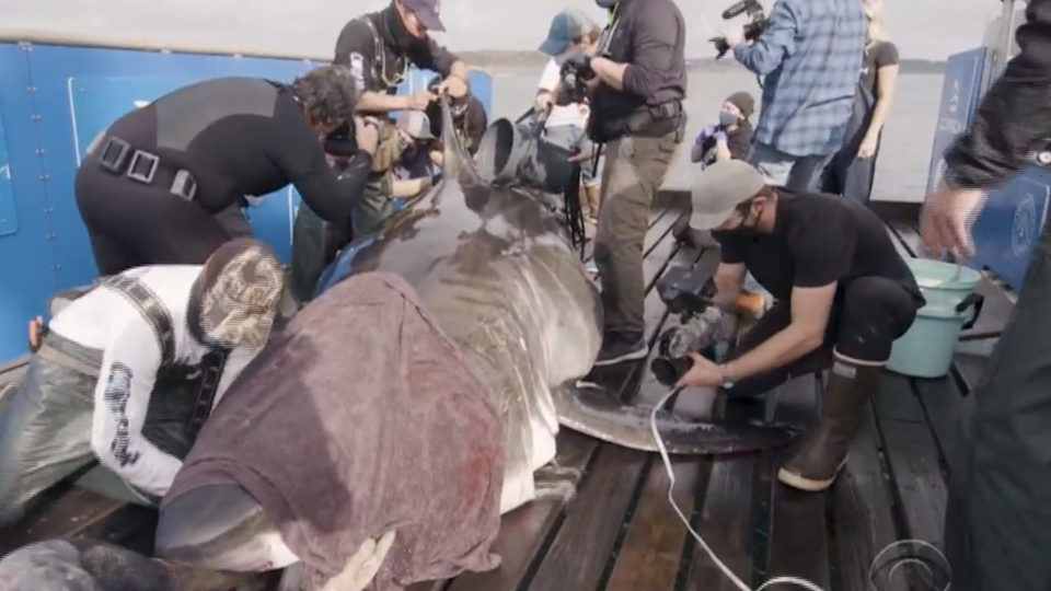 Tagging Nukumi, one of the largest great white sharks ever seen, was the crowning achievement of Ocearch's month-long trip. / Credit: CBS News / Ocearch