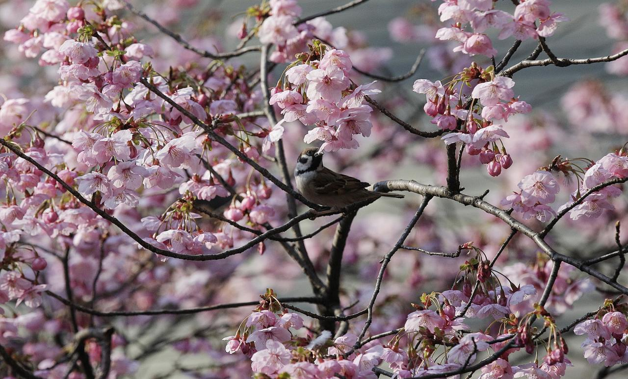 A sparrow pecks a petal of cherry blossoms at Yasukuni Shrine in Tokyo, Japan, Tuesday, March 29, 2011.