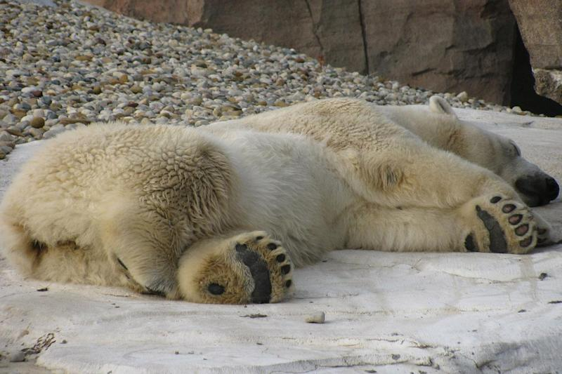 Climate change is said to be the single most important threat to polar bear's survival: Pixabay