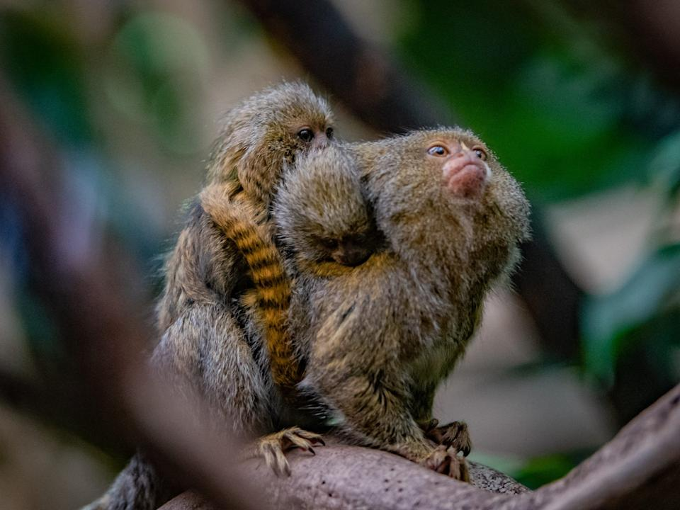 <p>Pygmy marmosets are social animals</p>Chester Zoo