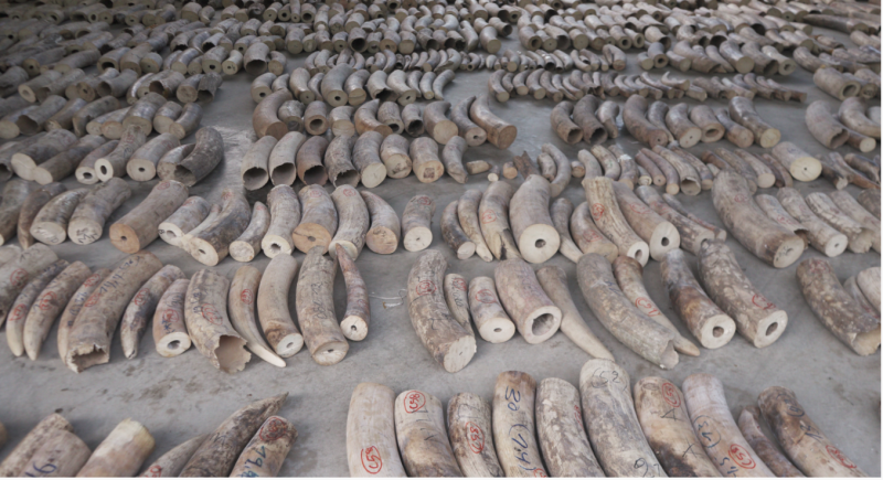 Singapore seizes tusks from 300 elephants