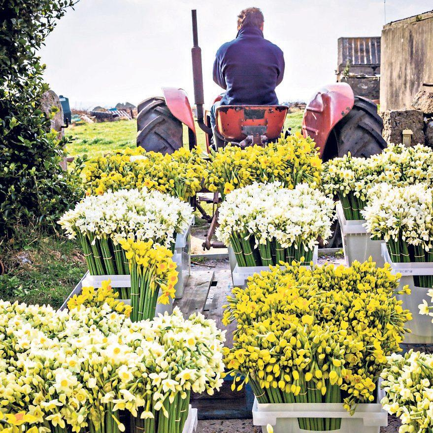 Harvest on St Agnes, Isles of Scilly, including 'Martinette', 'Avalanche' and paperwhites - Jonathan Buckley