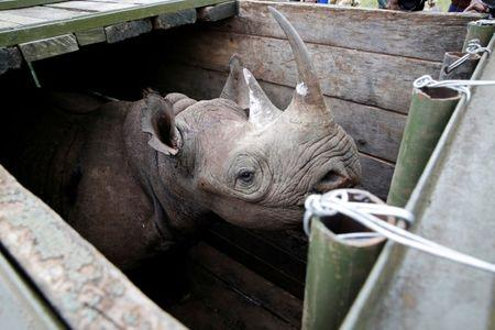 FILE PHOTO: A female black Rhino stands in a box before being transported during rhino translocation exercise In the Nairobi National Park, Kenya, June 26, 2018. REUTERS/Baz Ratner/File Photo