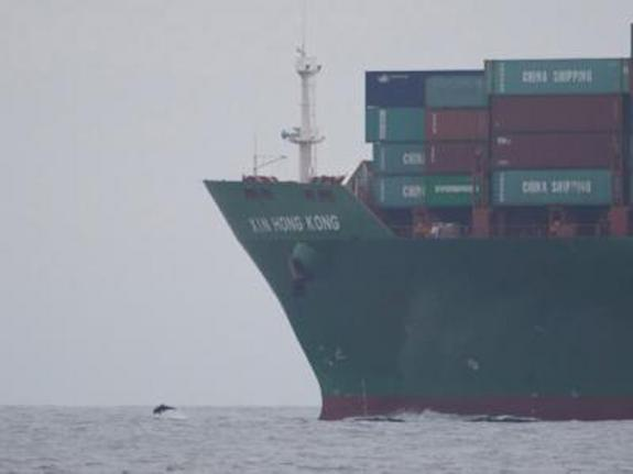 A dolphin is dwarfed by a massive container ship. Impacts of shipping on marine mammals include ship strikes, a particular concern for large whales.
