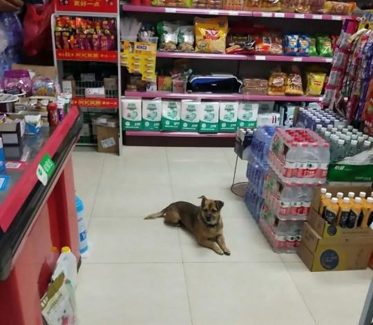 Pictured is XiaoBao in a supermarket, where he remained waiting for his owner.