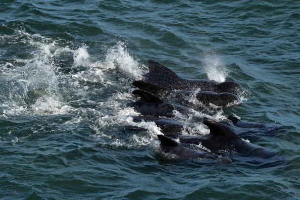 Emergency services attempt to rescue a large number of pilot whales who have beached on September 2, 2012 in Pittenweem near St Andrews, Scotland. A number of whales have died after being stranded on the east coast of Scotland between Anstruther and Pittenweem. (Photo by Jeff J Mitchell/Getty Images)