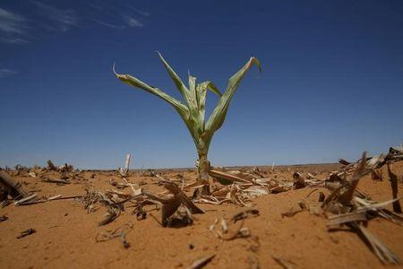 A maize plant is seen among other dry maize at a field Hoopstad,a maize-producing district in the Free State province