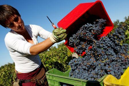 FILE PHOTO: A worker collects grapes for wine during harvest at a vineyard of the Tenuta dell'Ornellaia estate in the village of Castagneto Carducci in Tuscany, Italy September 21, 2011. REUTERS/Tony Gentile/File Photo
