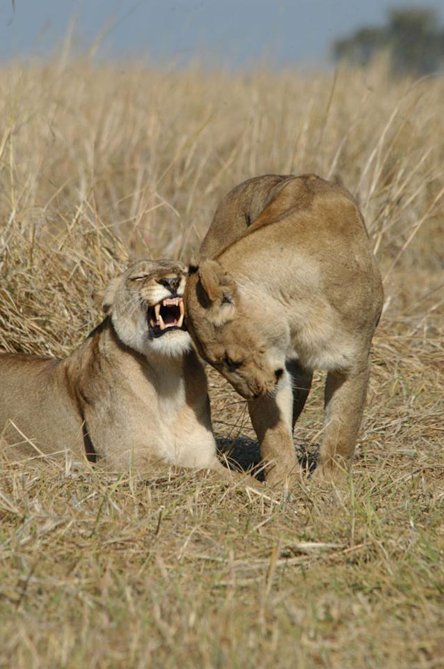 Busanga Swamps, Zambia: MW of Mother and Hunter (2 lionesses) rubbing heads in tall grass.
