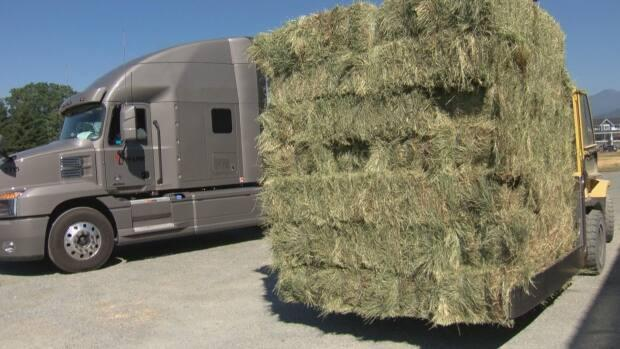 Hay is in such high demand due to the drought across a swath of North America that B.C. sellers are getting orders from places like Idaho and Montana. (Martin Diotte/CBC News - image credit)